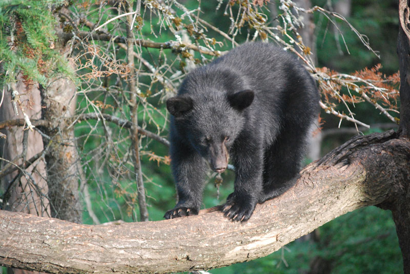 Bear cub at Vince Shute Wildlife Sanctuary