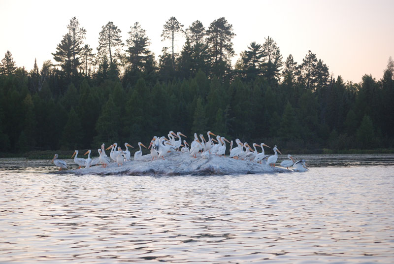 Pelicans sunning on rock in Pelican Lake