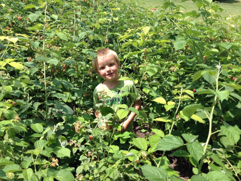 Berry Picking-Raspberries