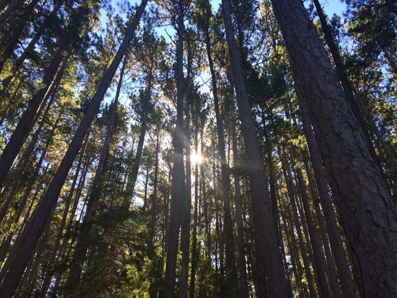 sun-in-pines1